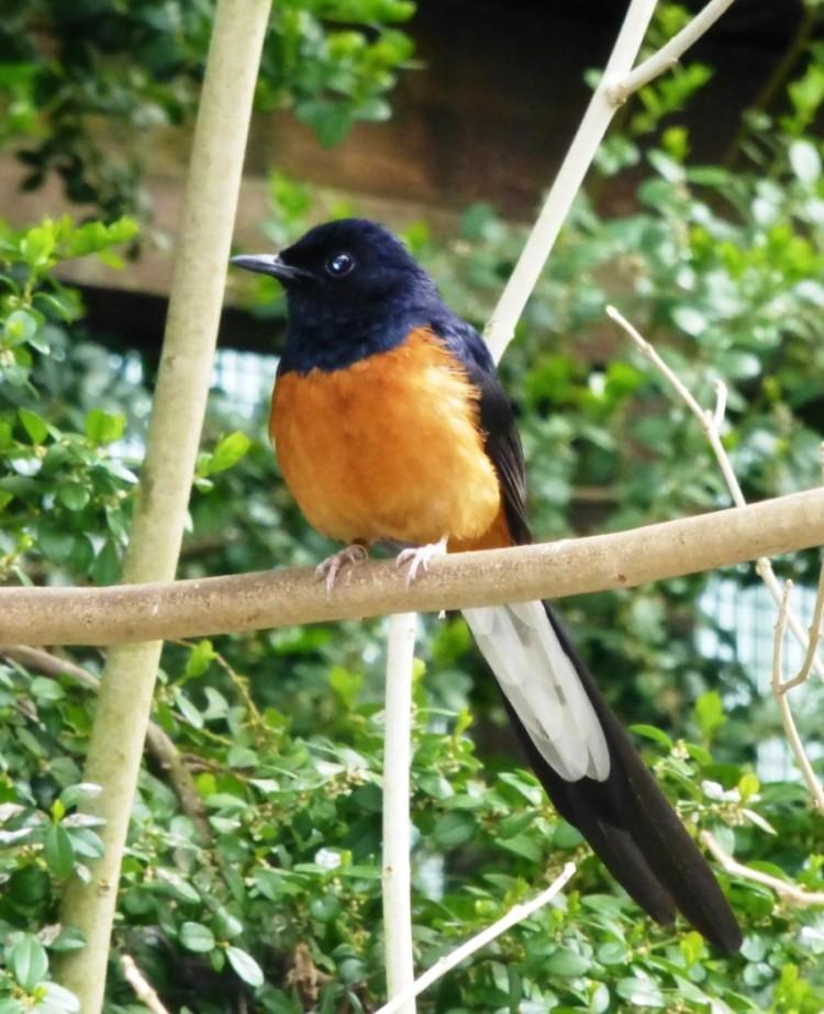 lingkungan asli burung murai batu